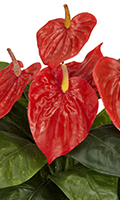 Red Spathe with Yellow Spadix Anthurium in Glass Bowl, 17.5 Inch High