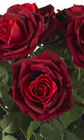 Red Red Hybrid Tea Rose Bouquet In Vase, 32 Inch High