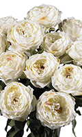White One Dozen Double-Bloom White Roses, 31 Inch High