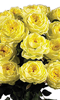 Yellow One Dozen Double-Bloom Yellow Roses, 31 Inch High
