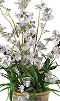 White Dancing Lady Silk Orchid, 26 inches High
